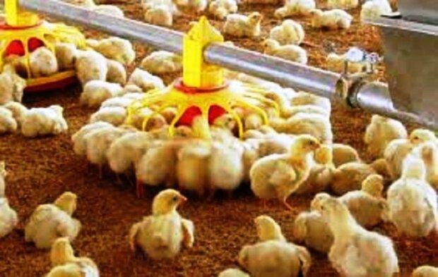 زیان مرغداران به ۲ هزار و ۳۵۰ میلیارد تومان رسید